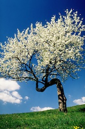 Spring Tree in Field